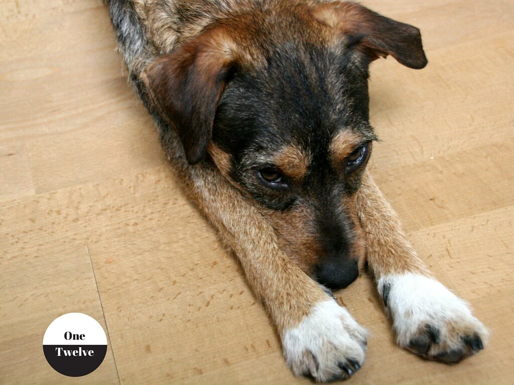 Hund mit unterwürfigem Blick