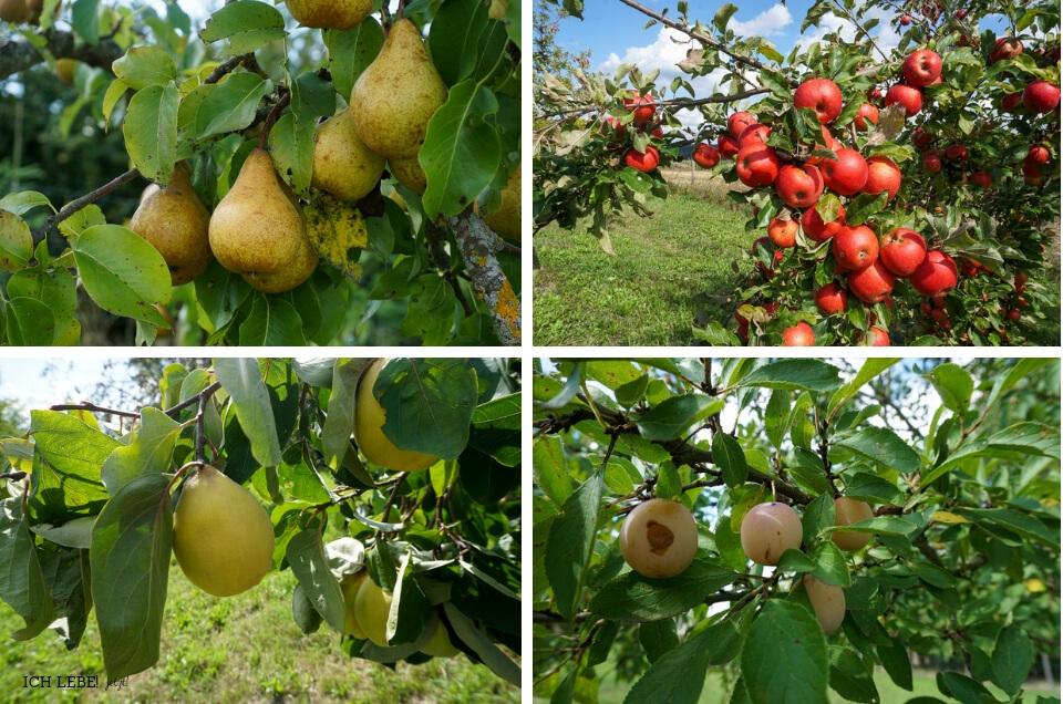 Birnen, Äpfel, Mirabellen und Quitten auf der Streuobstwiese