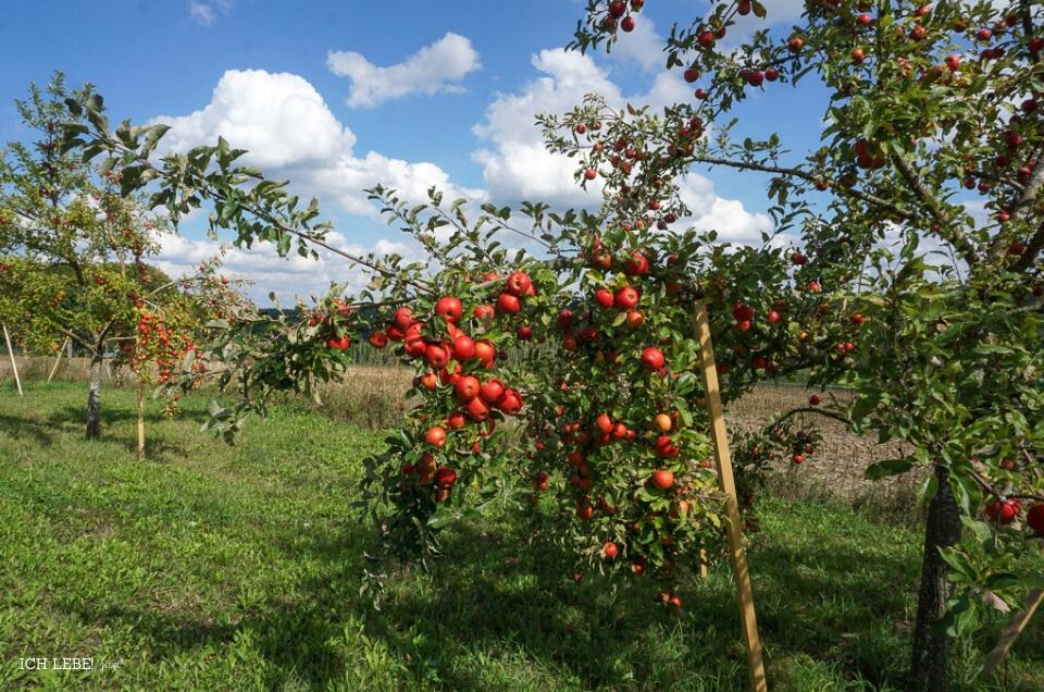 Apfelbaum mit vielen roten Äpfeln