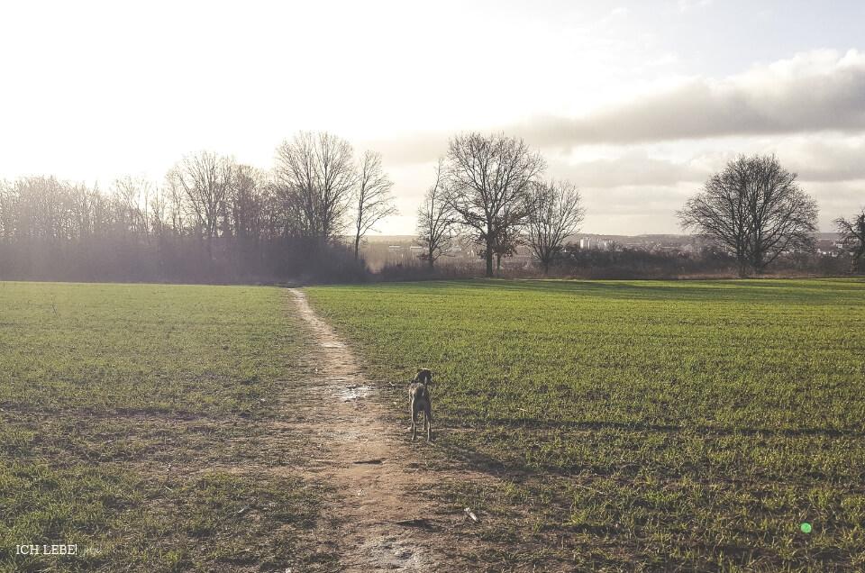Hund Charly auf einer Wiese