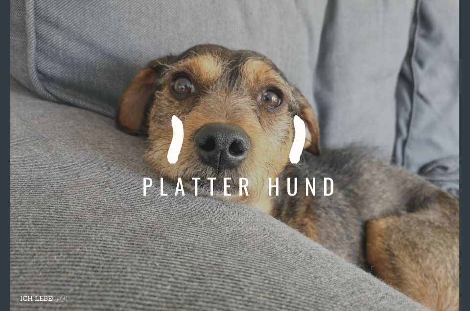 Platter Hund