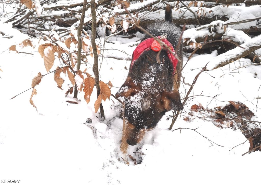 Im Schnee buddelnder Hund